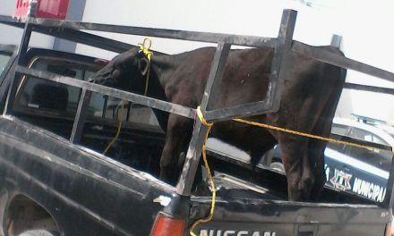 Combate SSPE robo de ganado