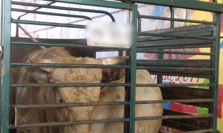Aseguran en Tepezalá dos vacas, que eran transportadas en un remolque y no se acreditó la propiedad