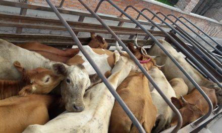 Fueron aseguradas 13 cabezas de ganado en el municipio de Cosío