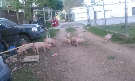Detienen en el Municipio de El Llano a sujeto que transportaba varios lechones sin la documentación correspondiente