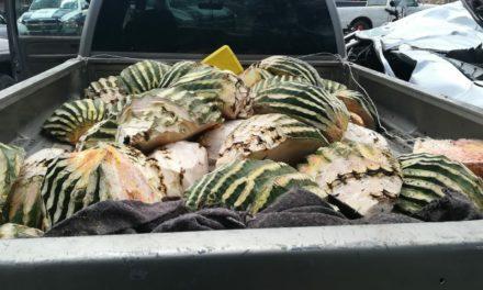 En Rincón de Romos fue asegurada una camioneta con 350 kilogramos de biznaga de pitaya