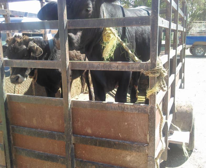Dos semovientes fueron asegurados en el Municipio de Tepezalá