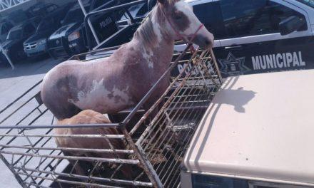 Fueron asegurados dos caballos en Pabellón de Arteaga