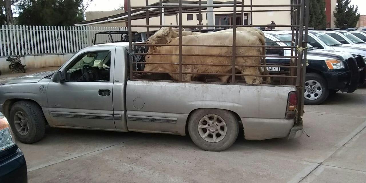 Dos semovientes que eran transportados sin la documentación correspondiente, fueron asegurados en el municipio de Cosío