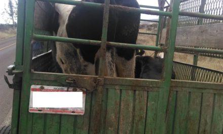 Tres bovinos que eran transportados sin la documentación requerida, fueron asegurados en el municipio de Tepezalá