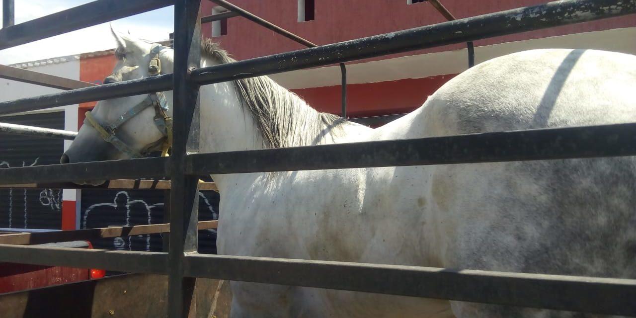 Un caballo que era trasportado sin la documentación requerida fue asegurado en el municipio de Pabellón de Arteaga