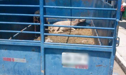 Dos semovientes fueron asegurados en el municipio de Pabellón de Arteaga