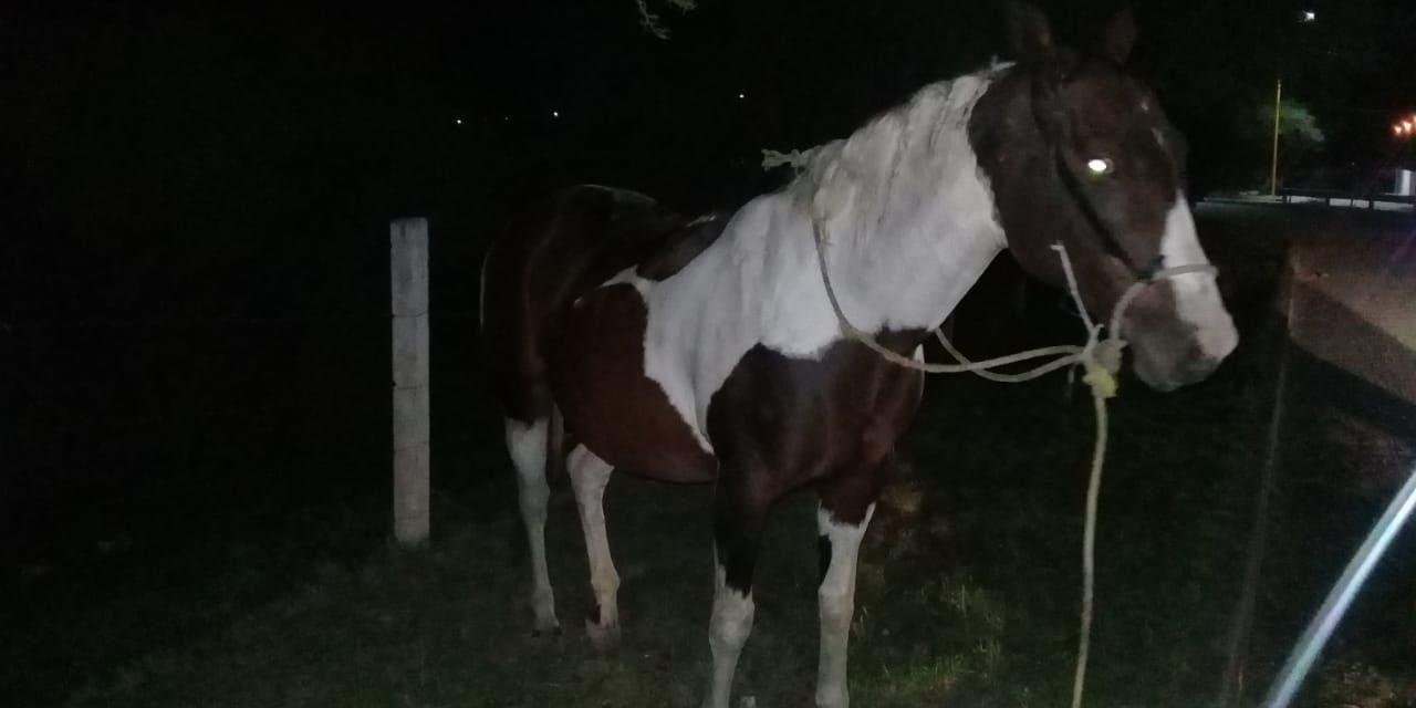 Caballo robado, fue recuperado  en Rincón de Romos y devuelto a su propietario