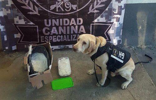 ¡Binomio canino detecta droga en una caja dentro de una paquetaría en Tlaquepaque, Jalisco!