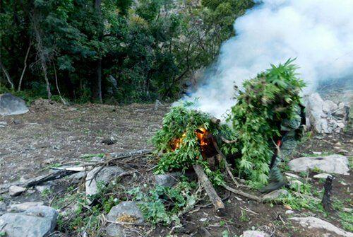 ¡Localiza SEDENA 144 mil plantas de marihuana y PGR las destruye en Jalisco!
