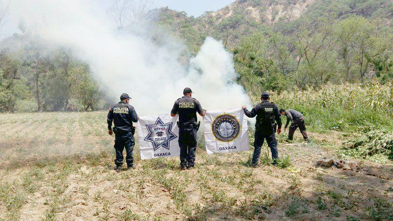 ¡Policía Federal, PGR y Policía Estatal de Oaxaca, localizan y erradican sembradío de mota!